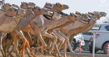 صور .. نتائج 12 شوط من سباق ولى العهد للهجن بالسعودية