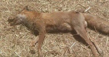 بيطرى الوادى الجديد : إعدام 1292 كلب وحيوان ضال في حملة فى حملات مكبرة بالمحافظة