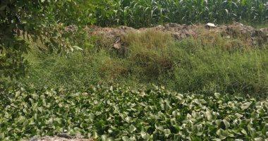 اضبط مخالفة.. ورد النيل يغطى ترعة برما بطنطا ويبدد الثروة المائية (صور)