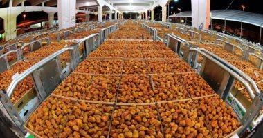"""الزراعة: استمرار تلقى طلبات تصدير """"البلح الفرش"""" لبكين"""