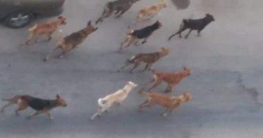 الكلاب الضالة مشكلة أهالى امتداد السبعين بالعبور