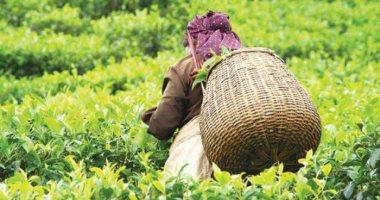 شعبة المستوردين: المصريون من أكثر الشعوب المستهلكة للشاي فى أفريقيا