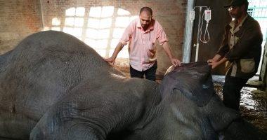 صور.. محاولات إنقاذ الفيلة نعيمة من الجلطة القلبية بحديقة حيوان الجيزة
