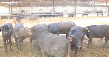 """""""الزراعة"""" تشن حملات مكثفة بمحال الجزارة لمنع ذبح العجول قبل بلوغها سنتين"""