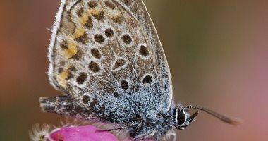 تغير المناخ يقتل الفراشات النادرة فى بريطانيا .. اعرف التفاصيل