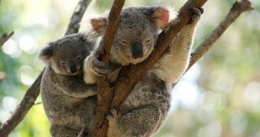 شاهد.. حيوان الكوالا يبحث عن المياه بعد موجة حر غير مسبوقة فى أستراليا