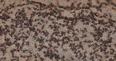 أغرب أنواع النمل يأكل من جنسه داخل مستودع نووى فى بولندا.. صور