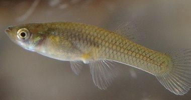 دراسة تكشف: مضادات الاكتئاب تصل للأنهار وتجعل الأسماك أقل عدوانية
