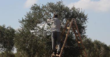 مستوطنون يعتدون على قاطفى الزيتون جنوب نابلس