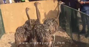 النعام يرعى خلف أسوار سجون طرة.. مزرعة خاصة للتربية واللحوم بسعر بسيط.. فيديو