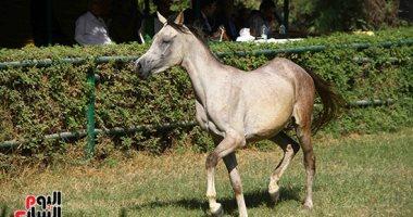 صور.. توافد عشاق الخيل وأصحاب المزارع على مزاد وزارة الزراعة لبيع 27 حصانا