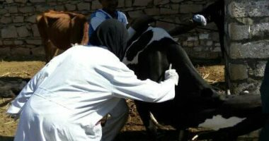 بيطرى أسوان تحصن الثروة الحيوانية ضد حمى الوادى المتصدع والحمى القلاعية