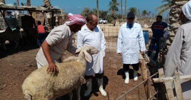تطعيم 9 آلاف رأس ماشية بشمال سيناء ضد الحمى القلاعية