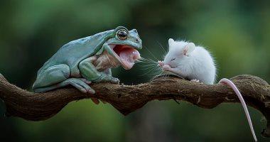 صداقة جديدة بين ضفدع وفأر بعد إعطاء الأول راحة من وجبة الغذاء