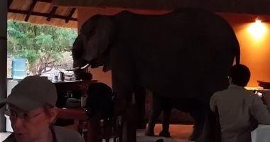 أفيال تقتحم مطعما فى زامبيا وسط ذهول السائحين