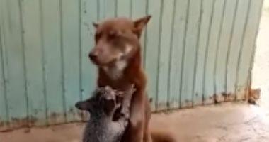 """لحظة سعادة.. تدليك لطيف من قطة يُسعد كلب """"لابرادور"""""""