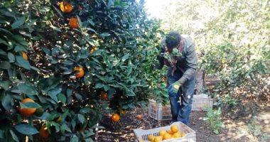 أشجار البرتقال