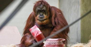الغوريلا والشمبانزى وإنسان الغاب يتلقون هدايا الكريسماس بحديقة ألمانية.. صور