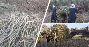 البحوث الزراعية: زيادة إنتاج السكر من القصب تعتمد على 8 محاور