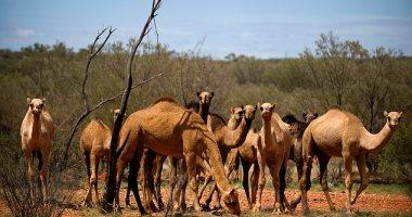 أستراليا تخطط لقتل أكثر من 10 آلاف من الإبل بسبب الحرائق.. اعرف التفاصيل