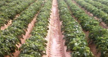 """الزراعة تنشر لجانا بالحقول الشتوية لرصد أى حالات مرضية للخضر بسبب """"الصقيع"""""""