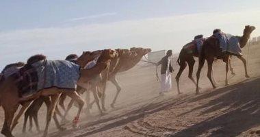 شرم الشيخ تستقبل أول دفعة هجن إماراتية للمشاركة فى فعاليات المهرجان التنشيطى