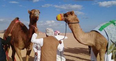 وصول ثانى دفعة هجن إماراتية للمشاركة فى مهرجان شرم الشيخ