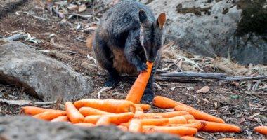 الحياة البرية الأسترالية تقدم المساعدات الغذائية للحيوانات بعد حرائق الغابات