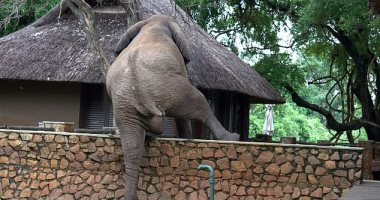 """فيل يتسلق سور 5 أقدام من أجل سرقة """"المانجو"""" في زامبيا"""