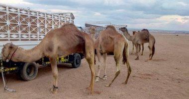 الإمارات تهدى مصر شحنة جمال من أفضل سلالات هجن السباقات على مستوى العالم