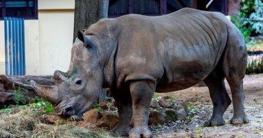 تكنولوجيا خلايا جذعية تجدد آمال إحياء سلالة منقرضة من وحيد القرن الماليزي