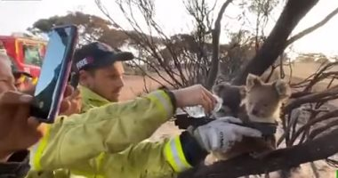رجال إطفاء يروون عطش كوالا وصغيرها بعد نجاتهما من حرائق غابات أستراليا.. فيديو