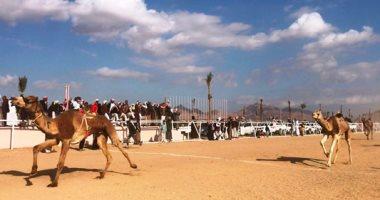 انطلاق فعاليات أخر أيّام سباقات الهجن بمضمار شرم الشيخ