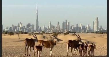 لقطات رائعة لصحراء دبى والحيوانات البرية بعدسة ولى العهد.. صور