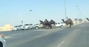 فيديو.. حادث فى محافظة الخرج السعودية بسبب الإبل