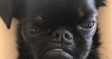 """الأكثر عبوسا فى العالم.. الكلب """"تشيكو"""" صوره تجتاح السوشيال ميديا.. اعرف السبب"""