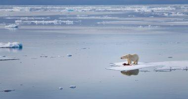 ناسا تحذر من تأثير التغير المناخي فى قتل الدببة القطبية