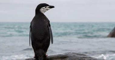 انخفاض أعداد مستعمرات البطاريق فى أنتاركتيكا خلال الـ50 عاما الماضية