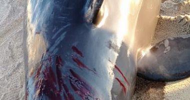 """العثور على """"الحوت الكاذب"""" نافقا على شواطئ الغردقة"""