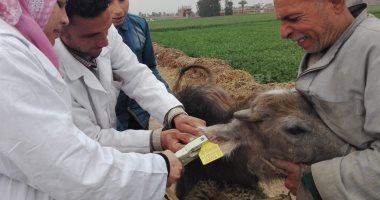الزراعة تحصن 586 ألف رأس ماشية ضد الجلد العقدى وجدرى الأغنام