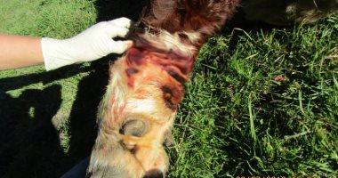 تغريم نيوزيلندى 4000 دولار بسبب ربطه لبقرة بحبل تسبب فى إصابتها