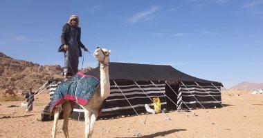انطلاق أكبر تنافس في تاريخ سباقات الهجن على أرض مصر بمشاركة 1030 مطية غدا