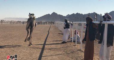 فيديو وصور.. سباق شرم الشيخ الرابع للهجن يسجل حضور أكثر من 7000 مشاهد