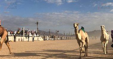 انطلاق فعاليات ثانى أيام مهرجان سباق الهجن بشرم الشيخ