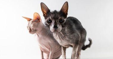 """قط """"مستذئب"""".. """"لوبو"""" ينتمى لسلالة نادرة يوجد منها 5 قطط فقط.. اعرف التفاصيل"""