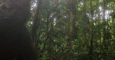 العثور على فصيلة من الغوريلا المهددة بالانقراض فى غينيا لأول مرة منذ 10 سنوات