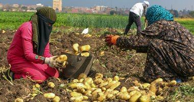 الزراعة: ارتفاع صادرات البطاطس لـ301 ألف طن