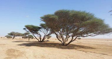 """""""المانجروف """"و"""" الاكاسيا """"و """"التنين"""" أشجار لها تاريخ بالصحراء الشرقية..صور"""