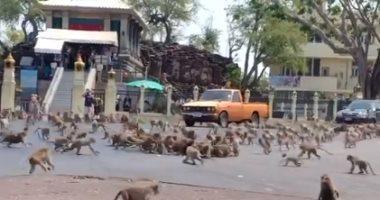 الجوع وحش.. مئات القرود تتقاتل فى شوارع تايلاند على موزة واحدة.. فيديو