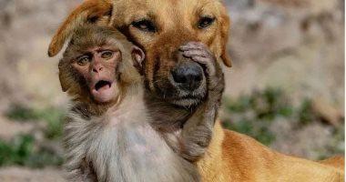 """""""الأمومة ليست فقط للبشر"""".. كلب يتبنى قردًا صغيرًا بعد وفاة أمه.. صور"""